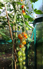 Ripening tomatoes in the greenhouse