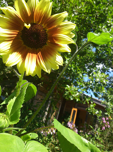 A sunflower in The Waterhouse garden